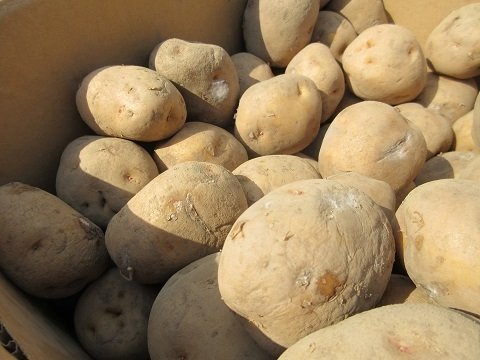 IMG_6769potato_uetske.JPG